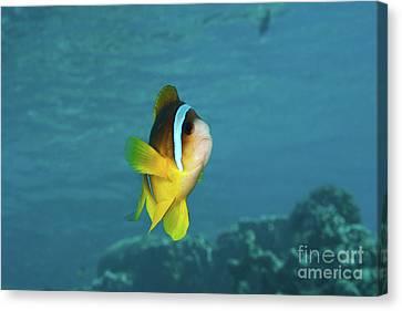 Two-banded Clownfish Canvas Print by Hagai Nativ
