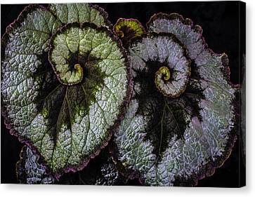 Two Begonia Leaves Canvas Print by Garry Gay