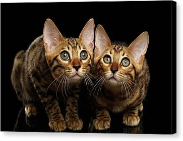Two Bengal Kitty Looking In Camera On Black Canvas Print by Sergey Taran