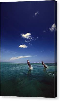 Two Bottlenose Dolphins Dancing Across Canvas Print by Natural Selection Craig Tuttle