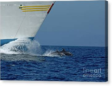 Two Bottlenose Dolphins Swimming In Front Of A Ship Canvas Print