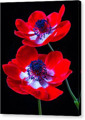 Two Bright Red Anemones Canvas Print by Garry Gay