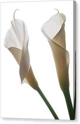 Two Calla Lilies Canvas Print by Terence Davis