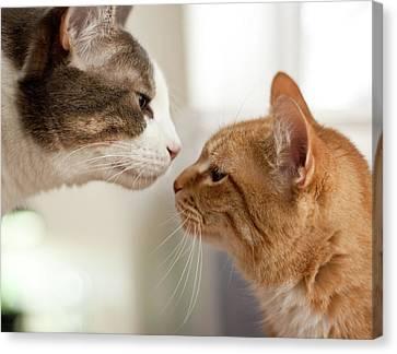 Two Cats Almost Kissing Canvas Print by Caro Sheridan / Splityarn