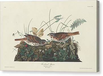Two-colored Sparrow Canvas Print by Rob Dreyer