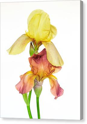 Two Colors Of Iris Canvas Print