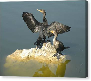 Two Cormorants Canvas Print by Rosalie Scanlon