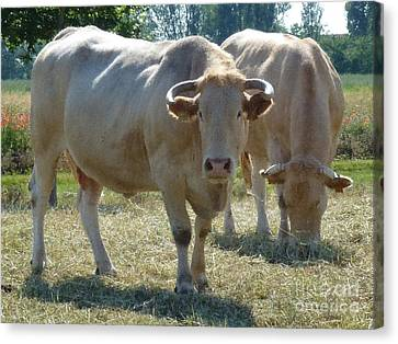 Canvas Print featuring the photograph Two Cows by Jean Bernard Roussilhe