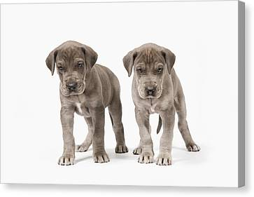 Two Curious Pedigree Great Dane Puppies Canvas Print
