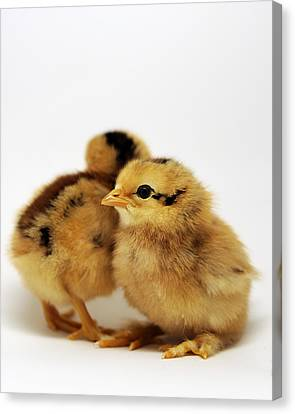 Two Cute Chicks Canvas Print by Laura Mountainspring