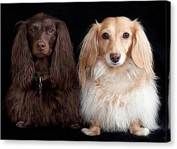 Two Dachshunds Canvas Print by Doxieone Photography