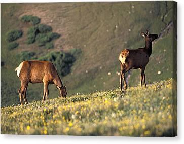 Two Deer Graze On The Alpine Ridge Canvas Print by Richard Nowitz