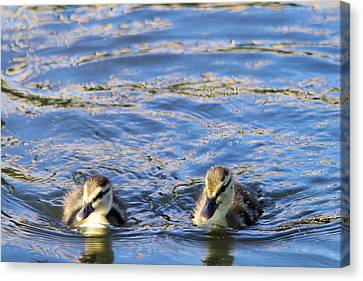 Two Ducklings Canvas Print
