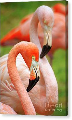 Two Flamingoes Canvas Print by Carlos Caetano