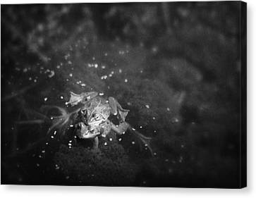 Two Frogs In A Pond Mating By Laying Canvas Print by Roberta Murray
