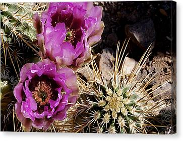 Canvas Print featuring the photograph Two Fucshia Blossoms  by Phyllis Denton