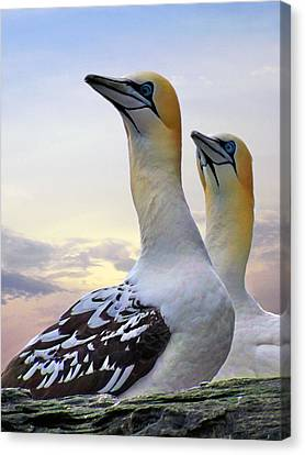 Two Gannets Canvas Print
