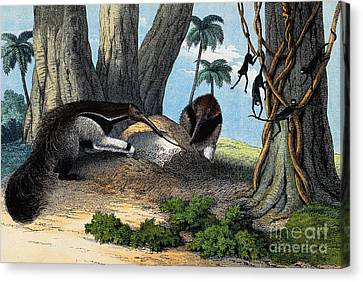 Two Giant Anteaters Feeding On Termites Canvas Print by Wellcome Images