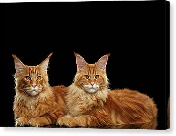 Two Ginger Maine Coon Cat On Black Canvas Print by Sergey Taran
