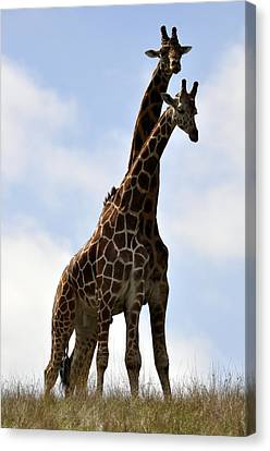 Two Giraffes A Love Story Canvas Print