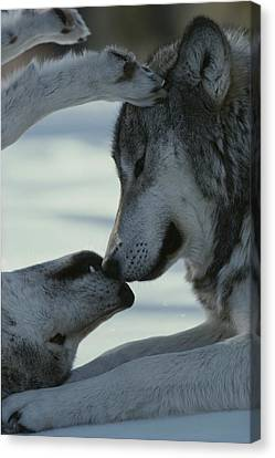 Bonding Canvas Print - Two Gray Wolves, Canis Lupus, Touch by Jim And Jamie Dutcher