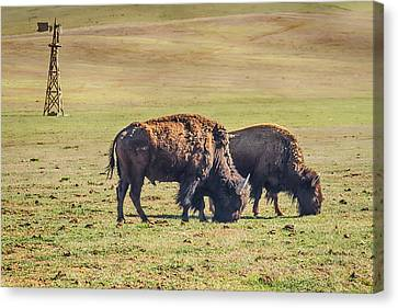 Bison Canvas Print - Two Grazing Buffaloes On The Range by James BO  Insogna