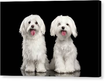 Two Happy White Maltese Dogs Sitting, Looking In Camera Isolated Canvas Print