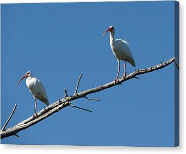 Two Ibis On Perch Canvas Print
