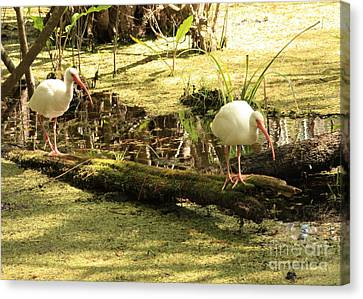 Two Ibises On A Log Canvas Print by Carol Groenen