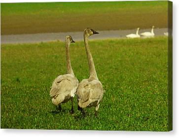 Two Juvenile Swans Canvas Print