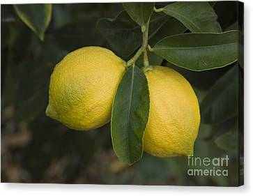Two Lemons Canvas Print