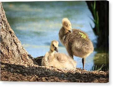 Two Little Goslings Canvas Print