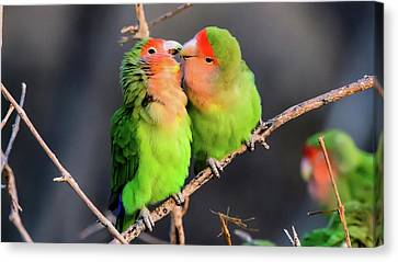 Two Loving Rosy Faced Lovebirds Canvas Print