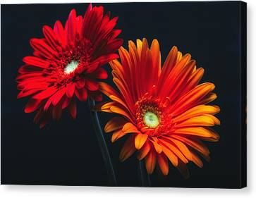 Two Luminous Daises Canvas Print by George Oze