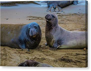 Two Male Elephant Seals Canvas Print by Garry Gay