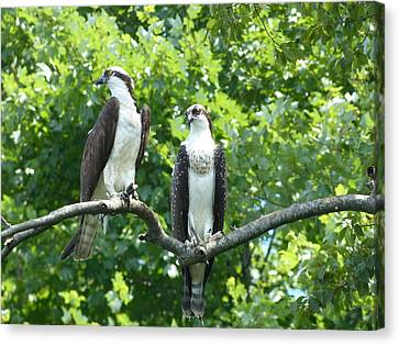 Two On A Limb - Osprey Canvas Print by Donald C Morgan