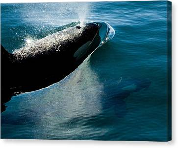 Two Orca Whales Canvas Print by Craig Perry-Ollila