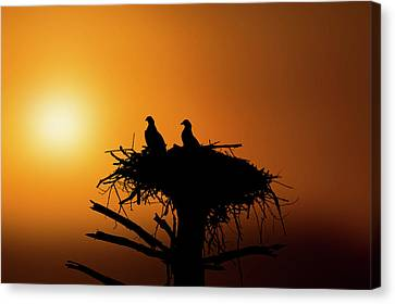 Two Osprey Chicks Waiting For Evening Snack Canvas Print
