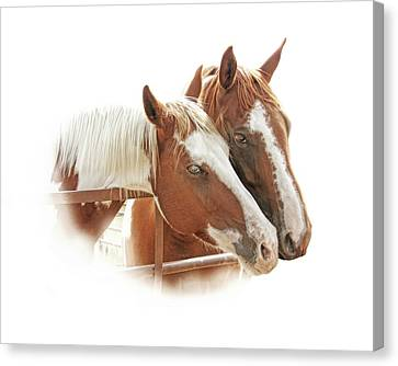 Two Paint Breed Horses Portrait Canvas Print by Jennie Marie Schell