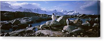 Two Penguins Standing On Rocks Canvas Print by Panoramic Images