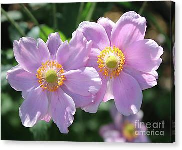 Two Pink Anemone Flowers Canvas Print by Carol Groenen