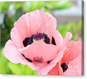 Two Pink Poppies Canvas Print