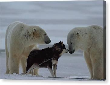 Two Polar Bears Ursus Maritimus Canvas Print by Norbert Rosing