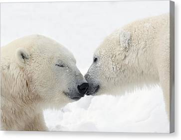 Two Polar Bears Ursus Maritimus Canvas Print by Richard Wear