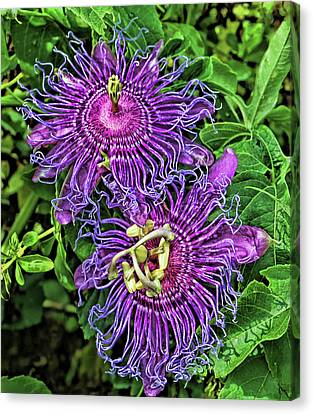 Two Purple Passion Flowers Canvas Print