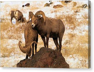 Two Rams On A Rock Canvas Print by Jeff Swan
