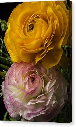 Two Ranunculus Canvas Print by Garry Gay