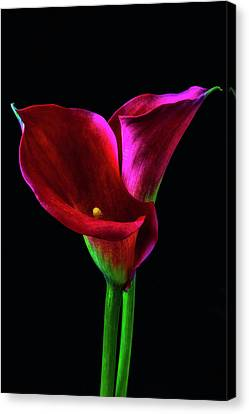Two Red Calla Lillies Canvas Print by Garry Gay