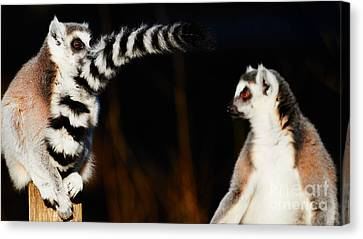Two Ring-tailed Lemurs Canvas Print