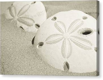 Two Sand Dollars Rest In The Sand Canvas Print by Ralph Lee Hopkins